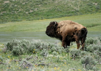 Picture of a Bison in Yellowstone