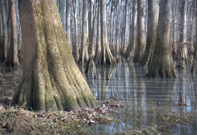 Photo of Congaree Old Growth Forest