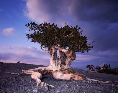 Bristlecone pine, Great Basin, Nevada