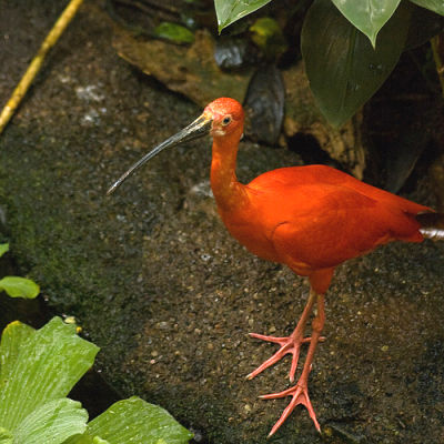 Red ibis at the Montreal Biodome