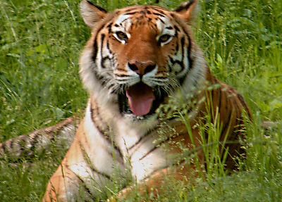 Photo of a tiger at the Bronx Zoo in New York