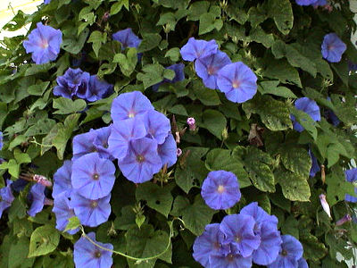 Photo of morning glory flowers