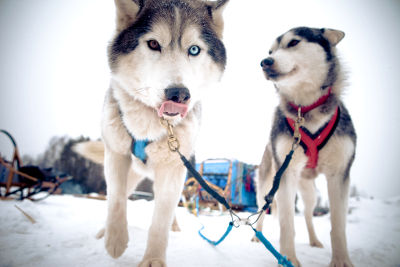 Photo of dog sledding in Prince George British Columbia, Canada