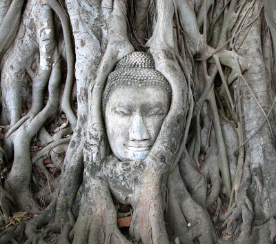 Photo of a Buddha head in a banyon tree at Wat Mahathat, Thailand